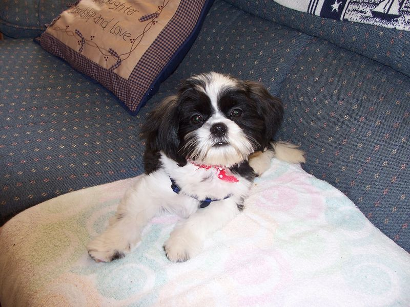 Logan the Shih Tzu