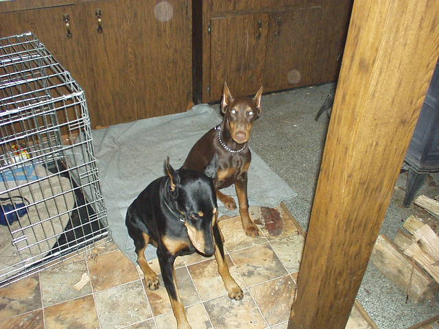 DobermanPuppies